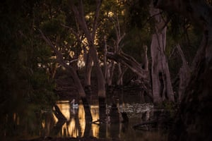 Sacred canoe scar tree and Australian Pelicans at Pollen Creek, Gayini
