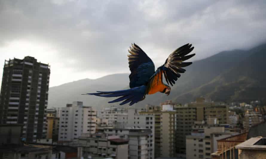 A macaw in Caracas, Venezuela