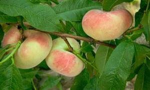 Sweet doughnut peaches.