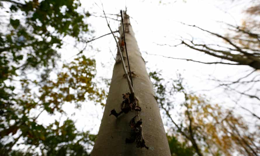 Dead leaves hang from an ash tree infected with Chalara dieback on a Woodland Trust Site near Framlingham, south-east England