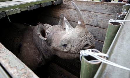 A female black rhino is transported during a translocation exercise in the Nairobi national park.