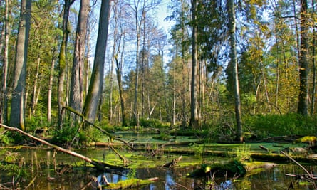The forest is home to Europe's tallest trees.