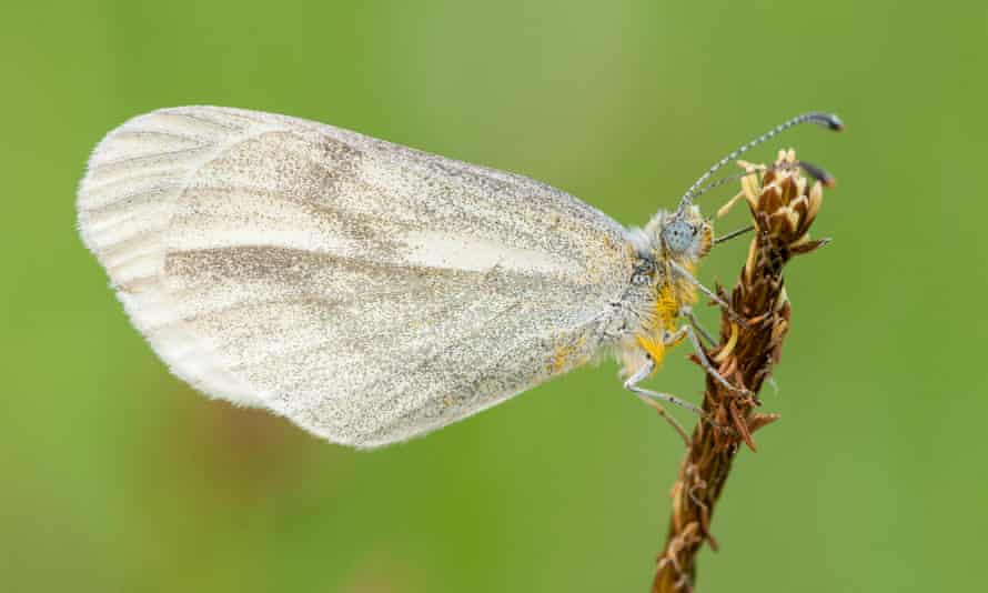 The rare and declining wood white butterfly