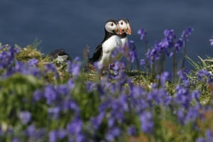 Puffins surrounded by bluebells