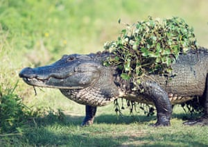 An alligator emerges from a swamp with water plants on its back, Florida, US
