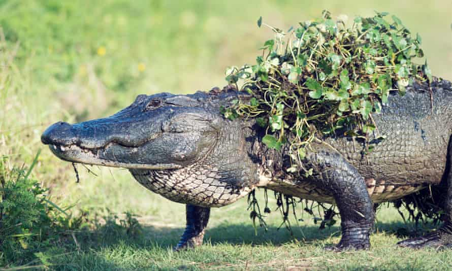 Alligators are opportunistic feeders that will eat what is easily available.