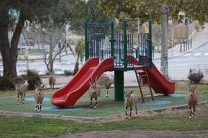 Nubian ibex gather in a playground