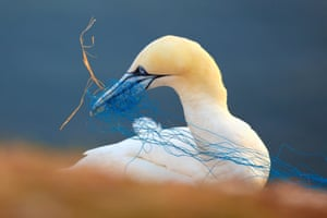 Northern gannet with discarded netting in its beak, Heligoland, Germany