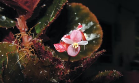 Begonia rubrobracteolata, one of  29 new begonias from the forests of Malaysia
