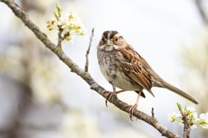 A white-throated sparrow rests on a blooming branch in Forsyth County, NC, US