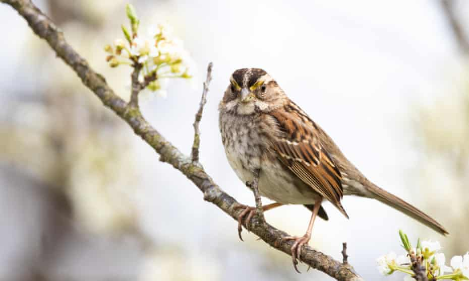 A white-throated sparrow in North Carolina. More than half of the US counties studied lost more than 10% of their grassland birds due to neonicotinoid use between 2008 and 2014.