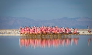 Planet Earth II: flamingos perform a courtship dance in a salt lake in the High Andes.