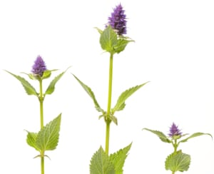 Purple Flowering Agastache Rugosa On White Background