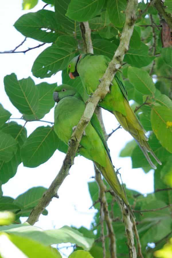 Echo parakeets are back from the brink of extinction.