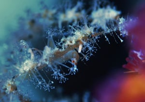 A close-up view of hydrozoans: multi-headed creatures with tiny tentacled polyps that feed on plankton.
