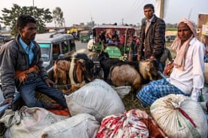 Hindu devotees travel with goats in a vehicle ahead of Gadhimai Festival in Baryarpur,