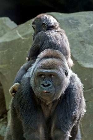 A juvenile western lowland gorilla (Gorilla gorilla gorilla) rides backwards sits on its mother in the Congo Gorilla Forest at the Bronx zoo