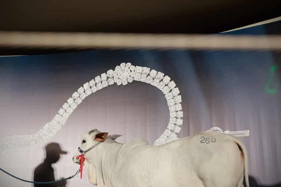Calf on auction during ExpoZebu Cattle Fair. Uberaba, Brazil, 2013