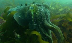 cuttlefish south australia