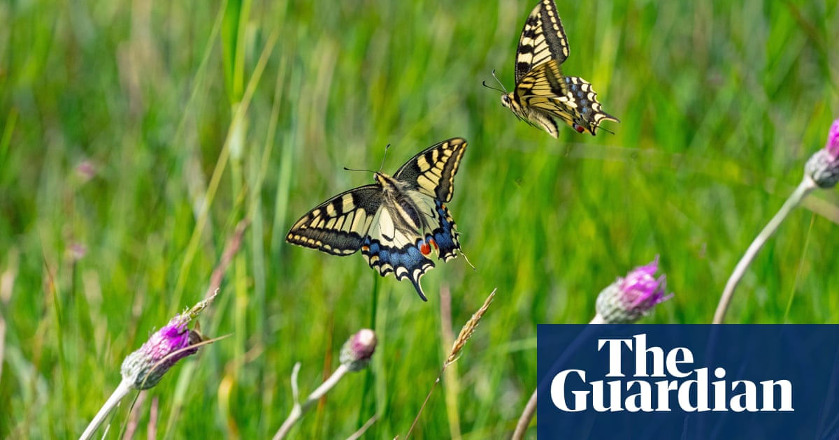 Lunch for a dragonfly – an ignominious end for Britain's biggest butterfly