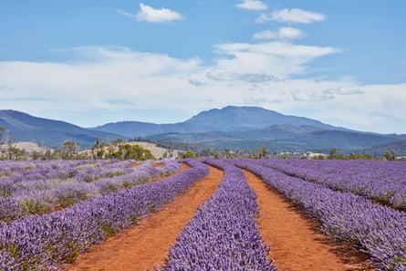 Bridestowe lavender farm in northern Tasmania