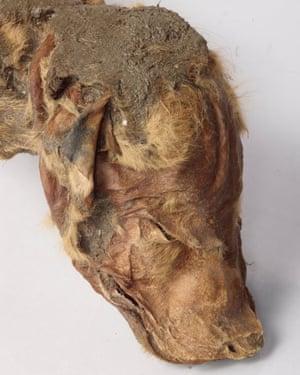 Mummified wolf pup.