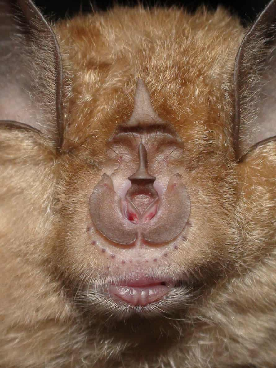 Close-up of a greater horseshoe bat's face