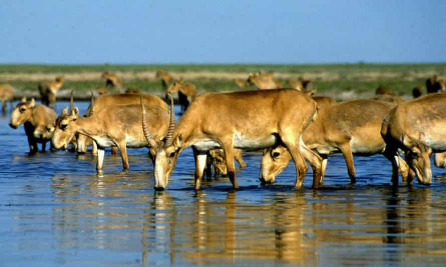 About 200,000 saiga antelopes died last year likely due to a bacterial infection.