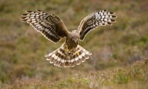 Are gamekeepers doing a better job than the RSPB at protecting UK hen harriers?