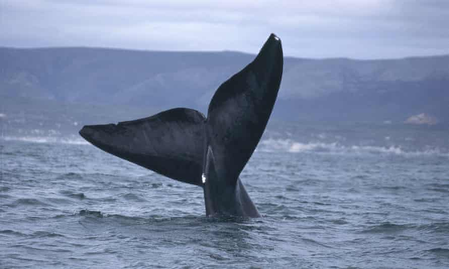 A right whale's tail fins.