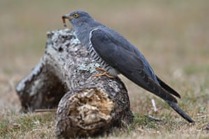 A cuckoo holds a grub in its beak near Horsham in the south of England