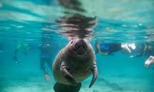 Florida manatees green sea turtles endangered species