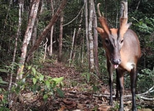 A common barking deer, or muntjac, on camera trap.