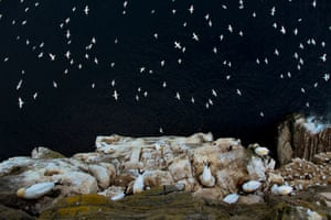 Overall winner and habitat category: Barrie Williams 'On the Edge', northern gannets, Shetland Isles, Scotland