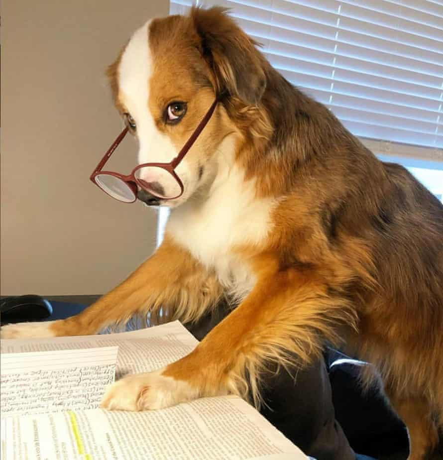 Max, a mini Australian shepherd, works from home with glasses on his nose during the coronavirus crisis. Image via @thecuriousmaxx and @dogsworkingfromhome