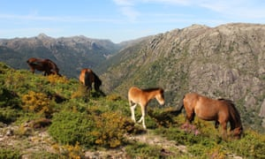 Wild ponies in Serra da Peneda