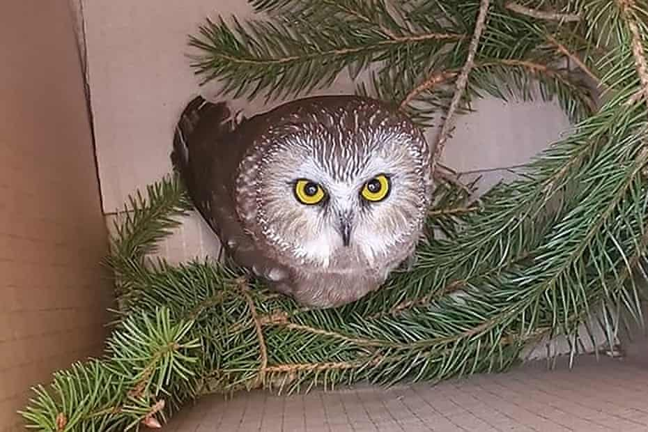 An owl, named Rockerfeller, was discovered in the Rockefeller plaza Christmas tree.