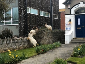 "A spokesperson from Conwy Council said ""Goats going into town is nothing unusual, particularly at this time of year, there is no way of stopping them."""