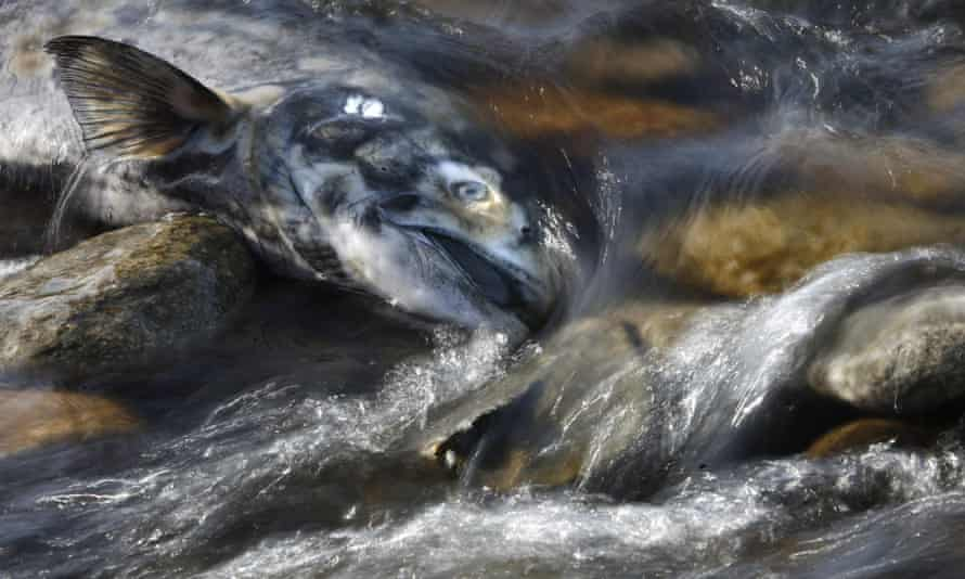 A dead chinook salmon lies in fast waters of the Adams river in British Columbia.