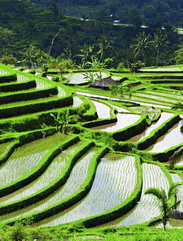Su tapınağı yöntemi ... Bali'deki dik volkanik tepelerde subak pirinç terasları.