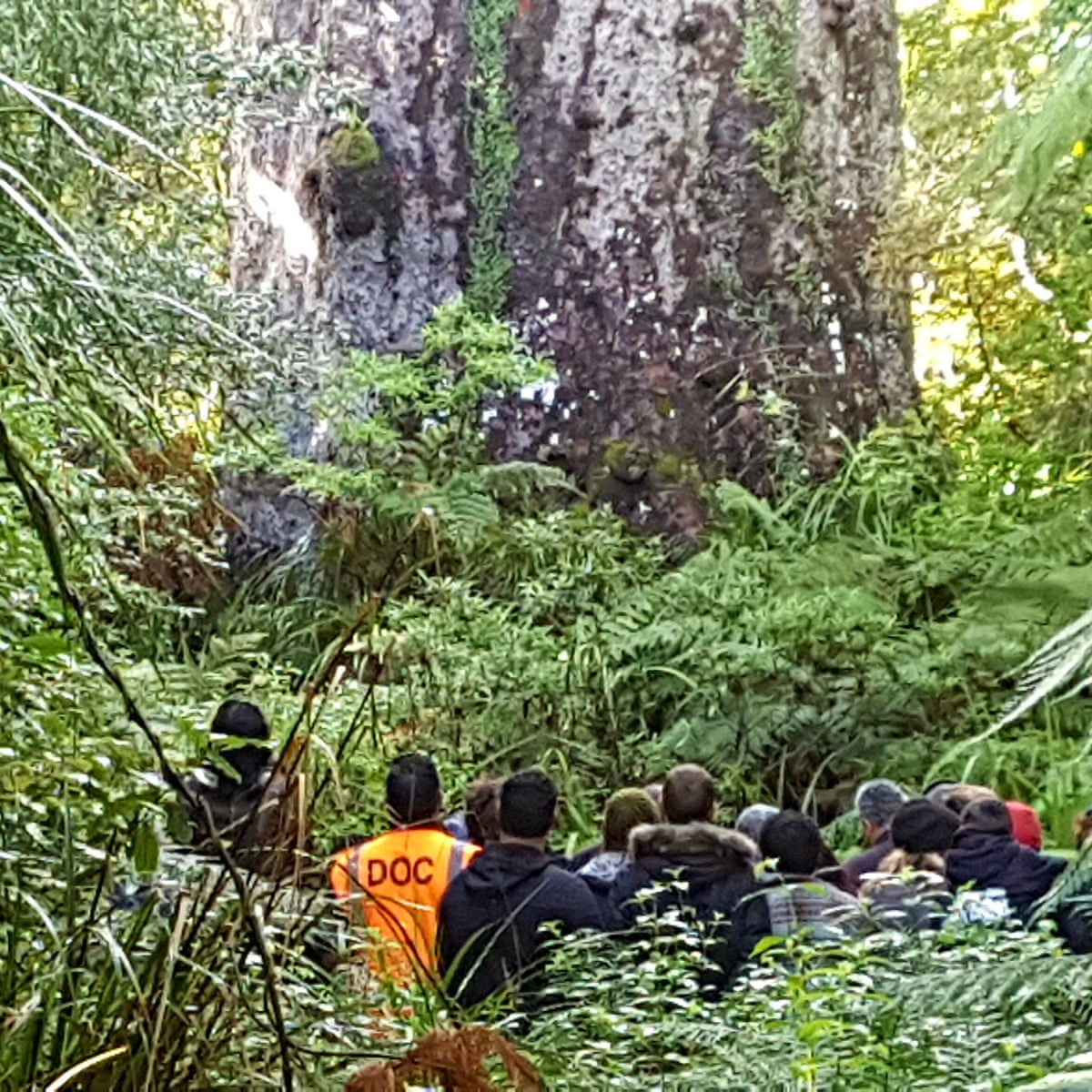 Like Losing Family Time May Be Running Out For New Zealand S Most Sacred Tree New Zealand The Guardian Photo taken by megan simpson. most sacred tree