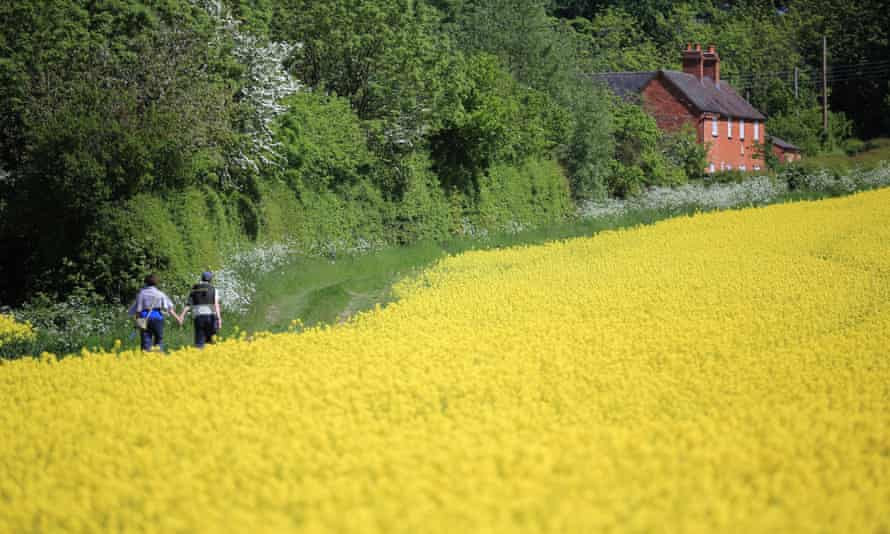 A field of rapeseed in bloom in England.