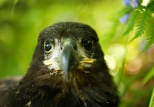 A white tailed eagle chick