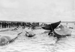 Residents look at a pod of beached whales