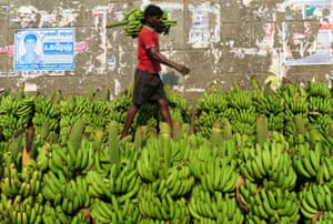The fungal disease has decimated banana crops in south-east Asia and is spread via soil, water and contaminated farm equipment.