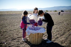 (From left to right) Maria, Evangelia and Nikolas Patsiouras fill a basket with saffron flowers in Krokos, Greece