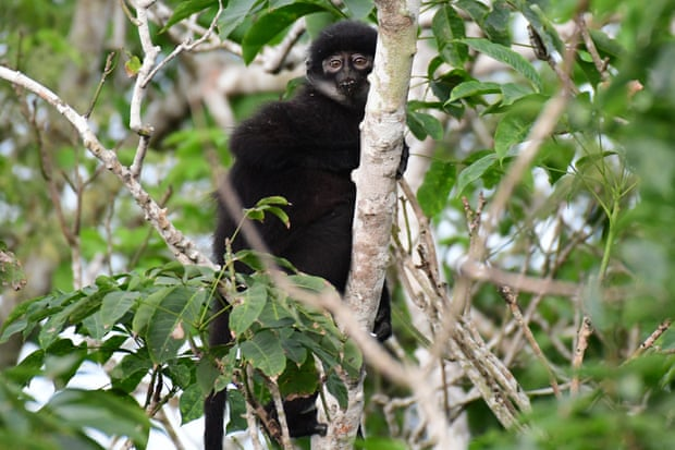 The East Sumatran banded langur now qualifies for critically endangered status. Photograph: Andie Ang