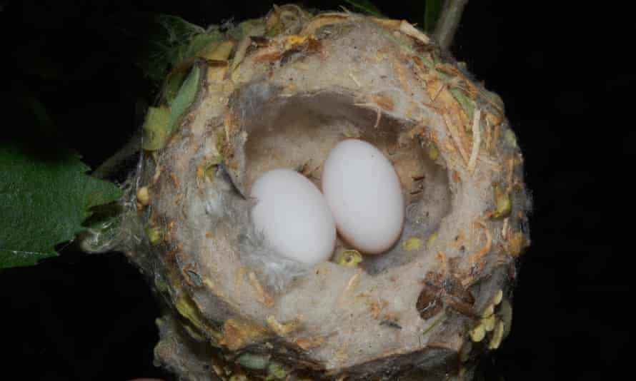 Hummingbird eggs are the size of peas.