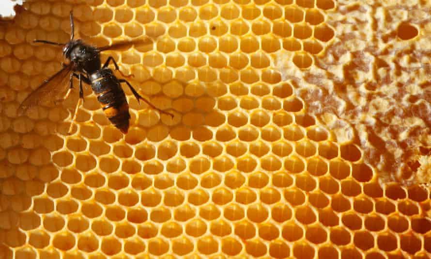 An Asian hornet in a beehive