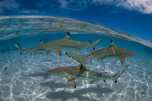 Blacktip shark (Carcharhinus limbatus) – currently found in the Mediterranean, southern Spain/Portugal, Atlantic coast of Africa, North America, Caribbean, South America, and the Indian and Pacific Oceans.